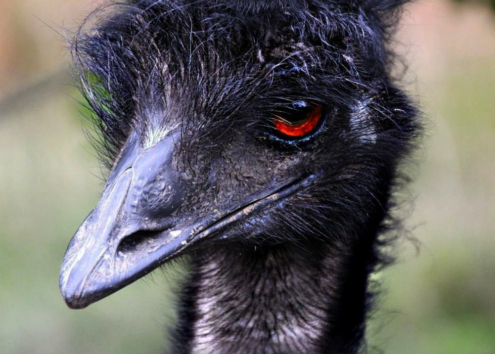 The mighty emu. Credit: Susan (edited on Adobe Photoshop).